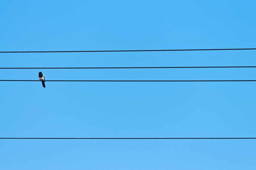 Skata på telefonledning